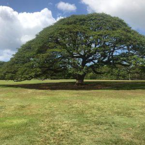 ハワイ モアナルアガーデン 日立の木 この木なんの木